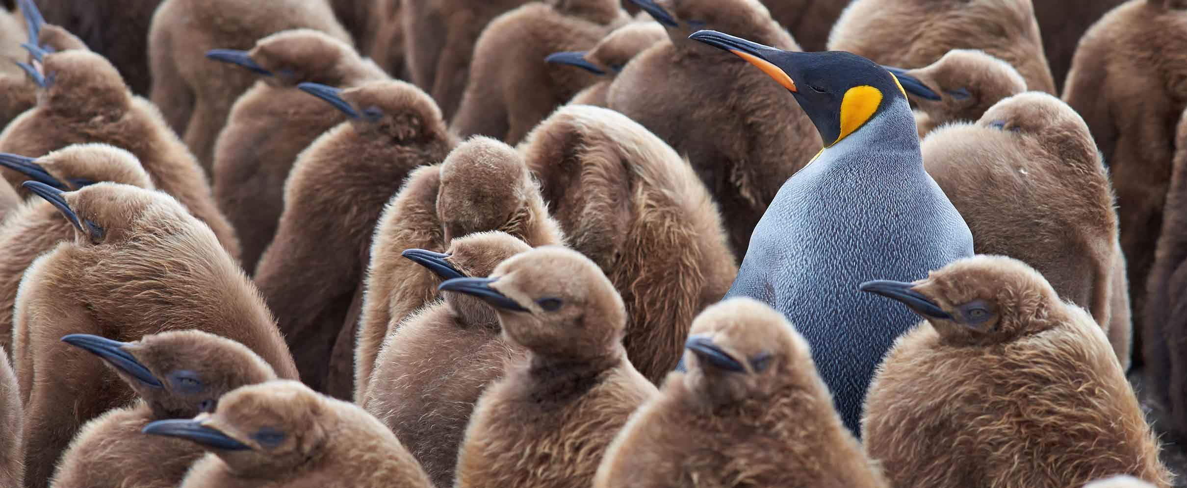 A gray and black penguin stands out from a group of brown penguins.
